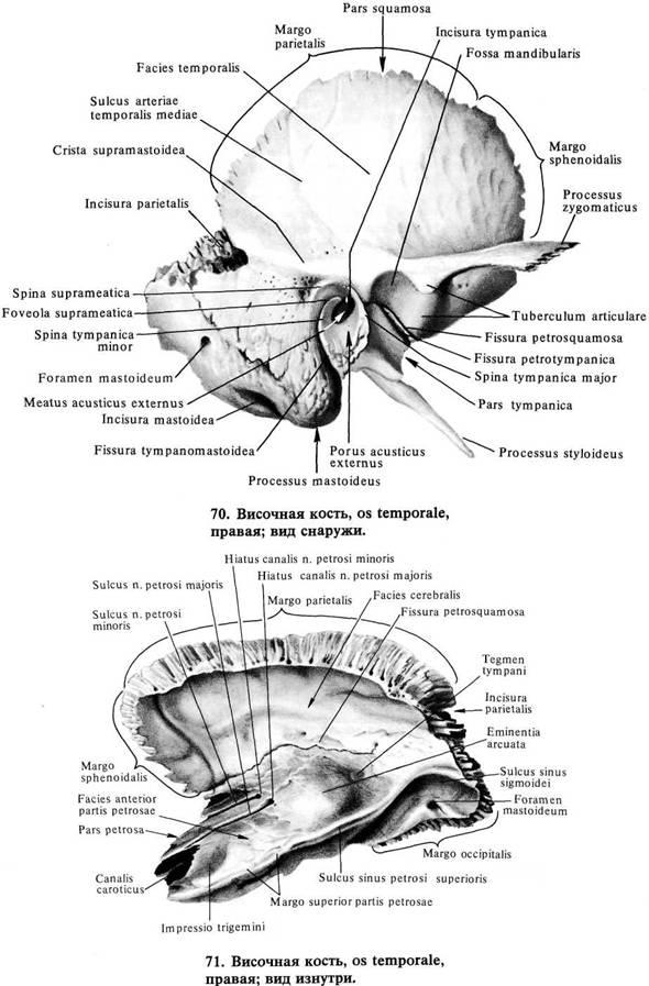 Височная кость картинки синельникова